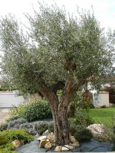 Les oliviers - A quelle epoque tailler un olivier ...